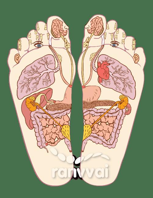 Órganos del Sistema Digestivo Ranvvai (c)